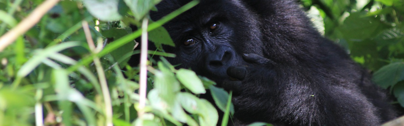 Luxury Uganda's Ape Escape Safari